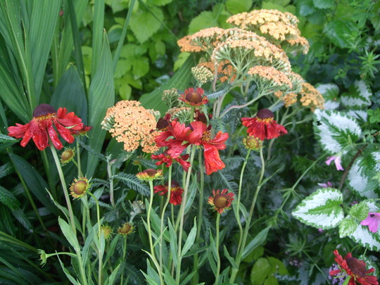 Achillea 'Terracotta' with Heleniums (Achillea)
