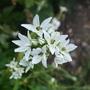 Triteleia hyacintha (Triteleia hyacinthina (Hyacinth Brodiaea))