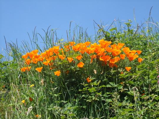 callifornian poppy. grown in wales!! (Eschscholzia californica (California poppy))