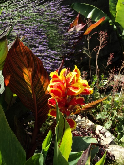 Canna 'Queen Charlotte' (Canna indica (Indian shot plant))