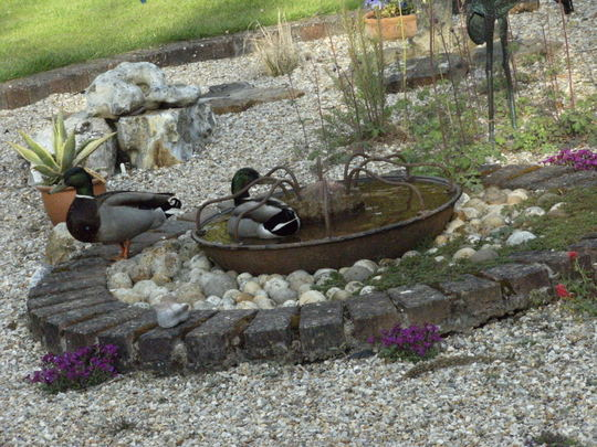 Ducks in my Pigs trough water feature !!