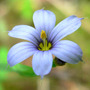 Blue_eyed_grass_close_6_07_08_exc_med