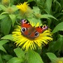 Peacock Butterfly sat on Inula Helenium