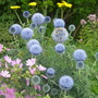 Echinops bannaticus &#x27;Taplow Blue&#x27; (Echinops bannaticus &#x27;Taplow Blue&#x27;)