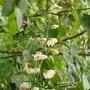 Aconitum_napellus_gletschereis_