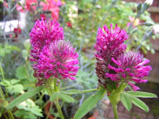 Trifolium rubens (Trifolium rubens)