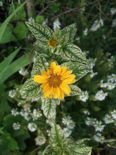 Heliopsis helianthoides 'Loraine Sunshine' (Heliopsis helianthoides (Early Sunflower))