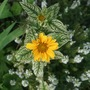 Heliopsis helianthoides 'Loraine Sunshine' (Heliopsis helianthoides (Early Sunflower))