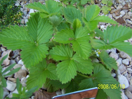 Alpine Strawberry (Fragaria vesca (Alpine Strawberry))
