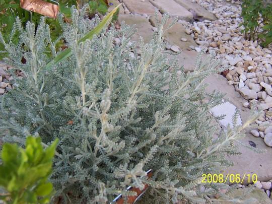 Cotton lavender (Santolina chamaecyparissus (Cotton lavender))