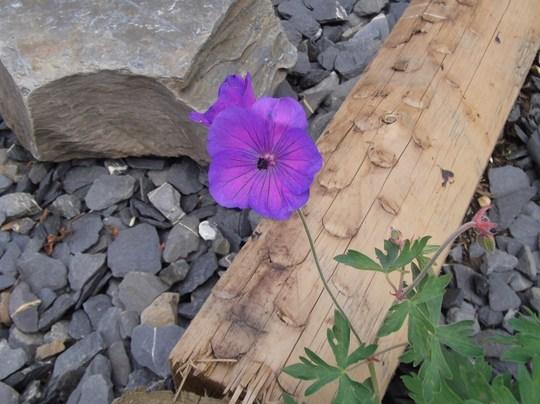 A lovely Geranium