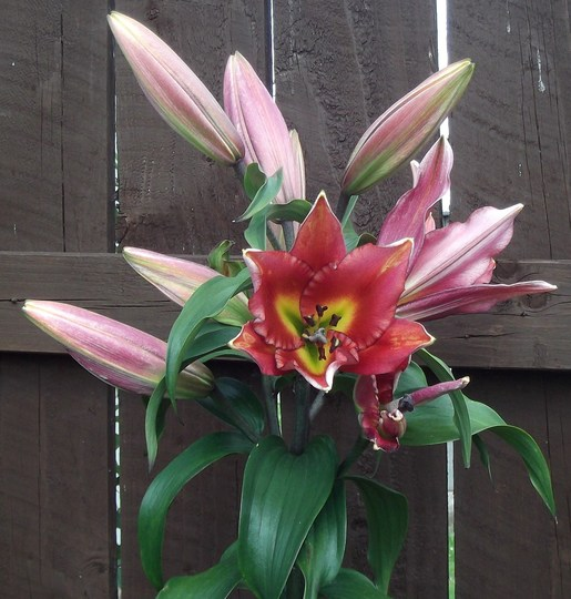Giant tree lily