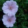 Pink hardy geranium (Geranium sanguineum (Bloody cranesbill) var. Striatum)