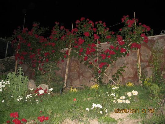 Love in night (rosa canina)