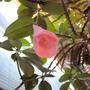 Chilean Bellflower (Lapageria rosea)