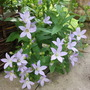 Campanula lactiflora 'Pritchards Variety' (Milky bellflower) Many thanks for this Hywel I love it. (Campanula lactiflora (Milky bellflower))