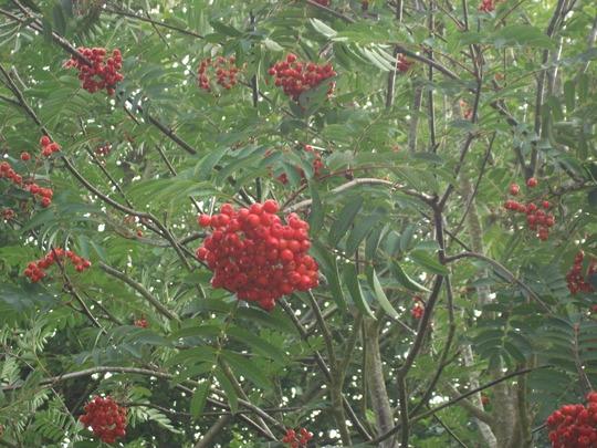 Sorbus aucuparia berries (Sorbus aucuparia (Mountain ash))
