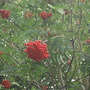 Sorbus aucuparia berries (Sorbus aucuparia (Mountain ash))