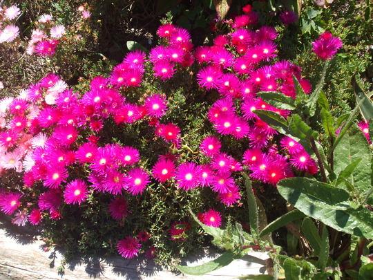 lampranthus (Lampranthus spectabilis (Trailing Ice Plant))