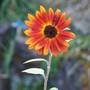 Small Sunflower (Helianthus)