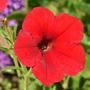 Petunia_red_exc_6_09_08_exc_sm