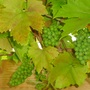 Grapevine  ...  year 2 (vitis 'Brand')