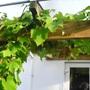 Grapevine  pic  2