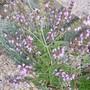 Green Sage (Salvia officinalis (Common sage))