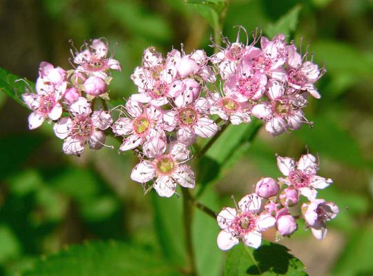 Japanese Spirea (Spiraea japonica (Japanese Spiraea))