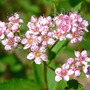 Japanese Spirea (Spiraea japonica (Japanese Spiraea))