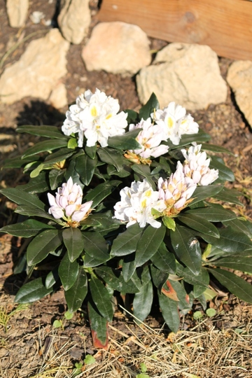"Rhododendron x ""Madame Masson"" (Rhododendron x ""Madame Masson"")"