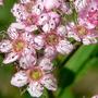 Japanese Spirea Closer (Spiraea japonica (Japanese Spiraea))