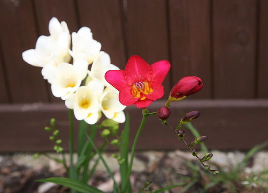 Freesia (Red & White) (Freesia)