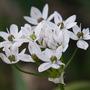 Allium Candense (Allium canadense (Wild Garlic))