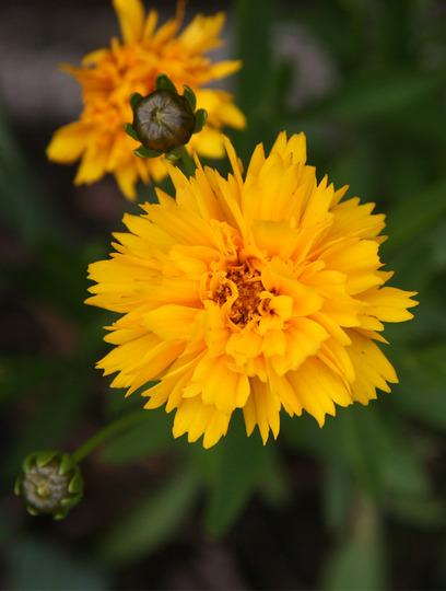 Coreopsis Sunray (Coreopsis grandiflora (Coreopsis Sunray))