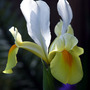 Yellow & White Iris (Iris)