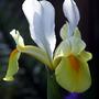 Yellow & White Iris (Iris)