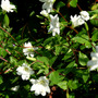 Epilobium glabellum sulphurium (Epilobium glabellum sulphurium)