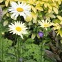 shasta daisy broadway lights