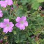 Geranium wargrave pink (Geranium clarkei (Hardy geranium))