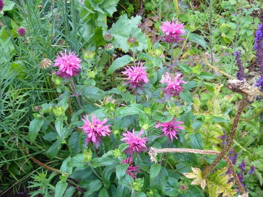 Monarda Pink Lace (Monarda didyma (Bergamot))