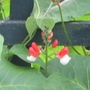 Close up of runner bean flower. (Phaseolus coccineus (Runner bean))