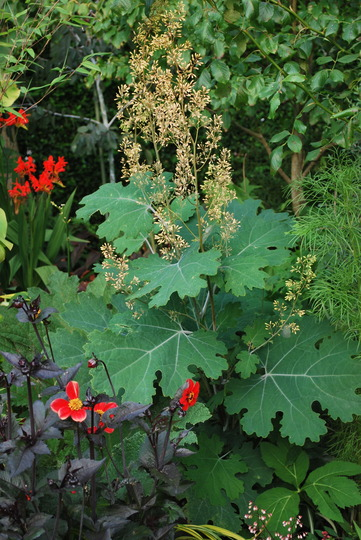 Macleaya for YDD and Amy.... (Macleaya microcarpa (Plume poppy) Kelways Coral)