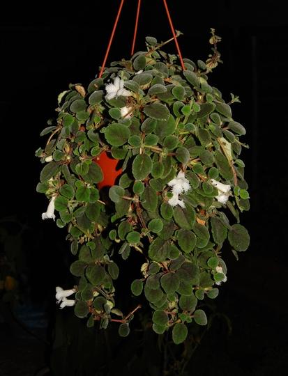 Alsobia Dianthiflora (Alsobia dianthiflora (Lacy Flower))