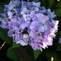 Hydrangea_3_flower_head