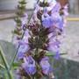 Green sage flowering (Salvia officinalis (Common sage))