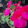 Unnamed Geranium