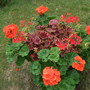 Pelargoniums in strawberry planter (Pelargoniums)