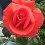 Rosa 'Superstar'