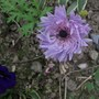 Anemone St Brigid still flowering  (Anemone St Brigid)
